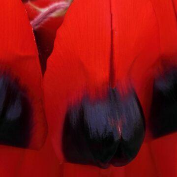 Sturt's Desert Pea Closeup by Carole-Anne