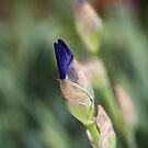 Budding Iris Blue by Joy Watson