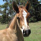 Skyhorse Blazin' Blush (aka Tex) by skyhorse