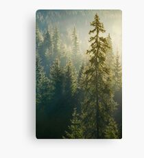 spruce tree in beautiful light Canvas Print