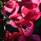 Hot Pink Bougainvillea  by MARY-ANNandCO