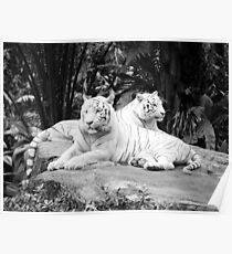 Two  White Siberian Tigers  Poster