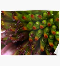 Coneflower blooms Poster