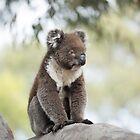 Baby Koala by imaginethis