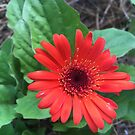 Red Gerber Daisy Flower by BeachBumFamily