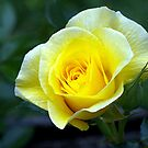 Yellow Rose - the first to flower this Spring......!! by Roy  Massicks