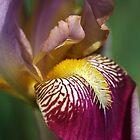 Bearded iris Mary Todd by Joy Watson