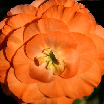 Orange Tuberous Begonia by Carole-Anne