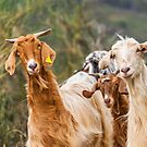 Cute and Curious Goats from Italy by Jon Shore