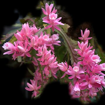 Pink Hanging Basket Plant - Zygocactus Lilac Princess by gigges