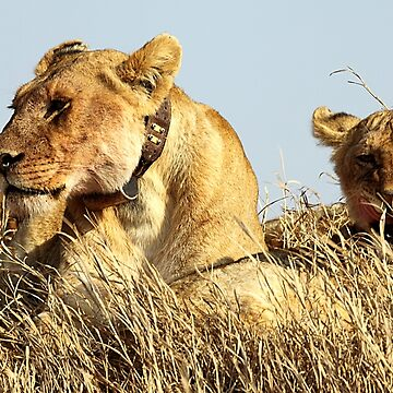 African Lions, Serengeti, Tanzania  by Carole-Anne
