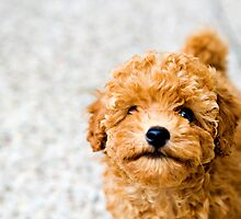 Sundae the Miniature Poodle by Charlotte Reeves