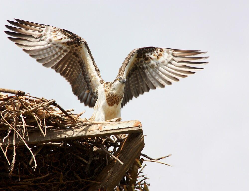 Juvenile Osprey a Day Before Fledging by byronbackyard