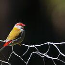 Red-browed Finch by David de Groot