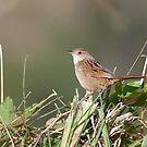 Tawny Grassbird by David de Groot