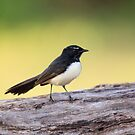Willie Wagtail by David de Groot