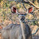 African Antelope by Angela Ferguson