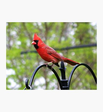A very handsome Northern Cardinal. Photographic Print