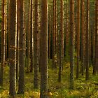 Forest sunlight by kawe