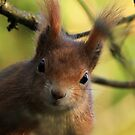 An inquisitive red squirrel  by miradorpictures
