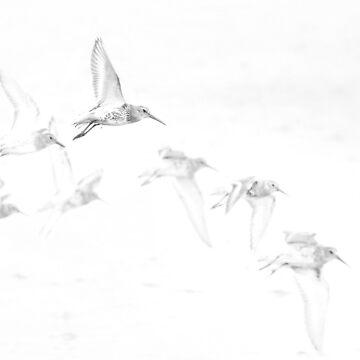 A fling of dunlin by Mortimer123