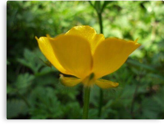 Buttercup Aglow by Babz Runcie