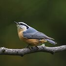 Red-breasted Nuthatch Looking up by hummingbirds