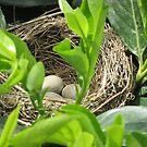 tagliata la siepe...trovato il nido di merli ! ma la mamma non è più tornata.... by Guendalyn