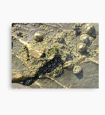 mussels, barnacles, limpets, oh my! (Seafield Beach) Metal Print