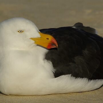 Pacific Gull laying by UncaDeej