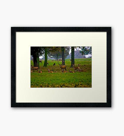 Woodland Scene - Red Deer Framed Print
