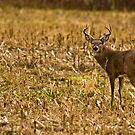 Whitetail Buck by BigD