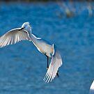 Snowy Egret In Flight by TJ Baccari Photography