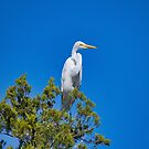 Great White Egret top of tree by TJ Baccari Photography