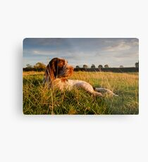 Spinone Puppy Sunset Metal Print