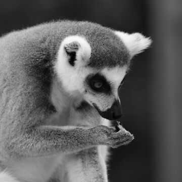 Feeding Time For The Ring Tailed Lemurs - Whipsnade 2018 by PathfinderMedia