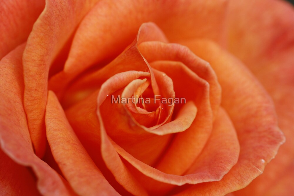 Peach Rose by Martina Fagan