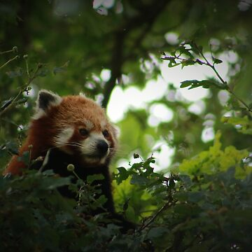 A Very Shy Red Panda In The Trees - Whipsnade 2018 by PathfinderMedia