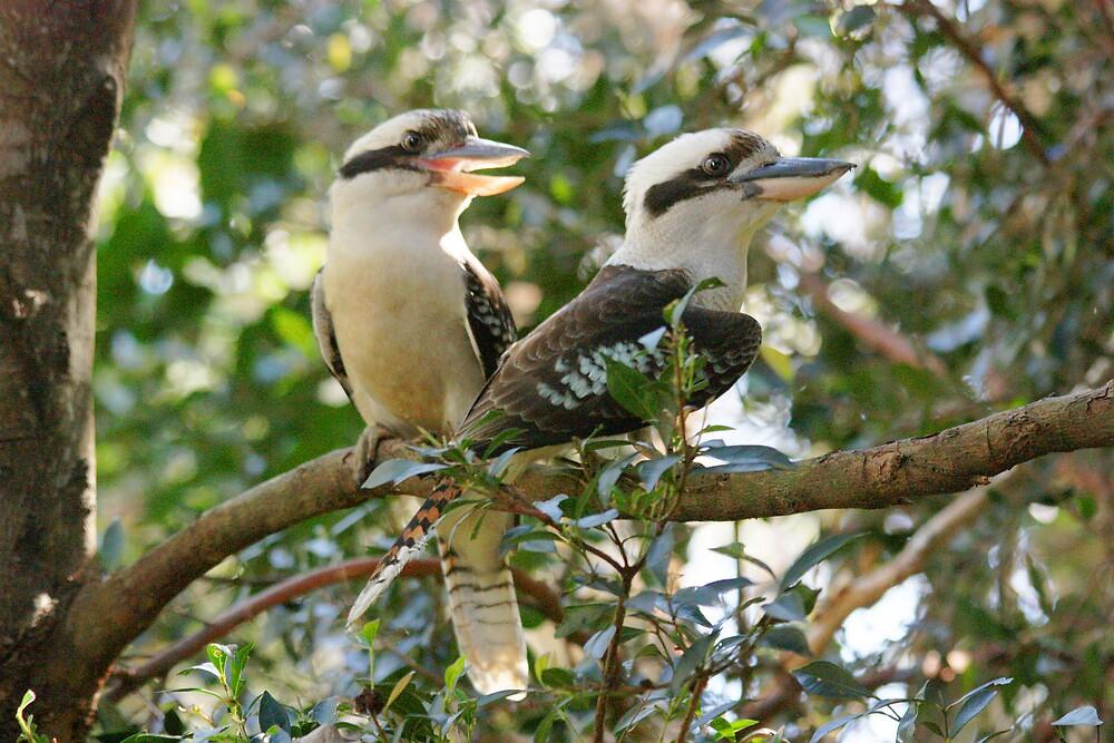 Laughing Kookaburras by byronbackyard