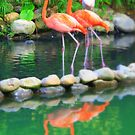 Flamingo reflections by Christine Oakley