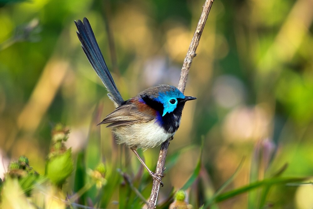 Variegated Fairy Wren, Maleny Queensland by Andrew Goodall