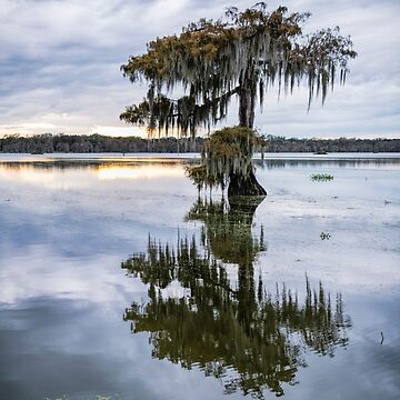 Moss Draped Cypress at Lake Martin  by Miracles