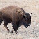 American Bison walking in the field by Eivor Kuchta