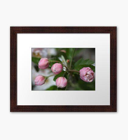 Buds Of Pink Framed Print