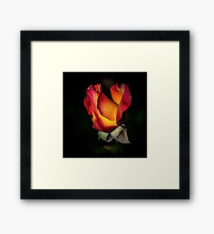 Fire Rose Bud Framed Print