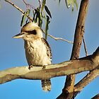 Kookaburra  by Cindy Hitch