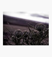 Thistles in The Peak District Photographic Print