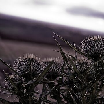 Thistles in The Peak District by SteveWilliams