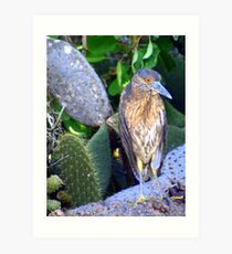 Yellow-crowned Night Heron Art Print