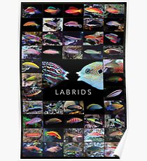 Labrids Poster